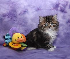ragamuffin kitten Sophie
