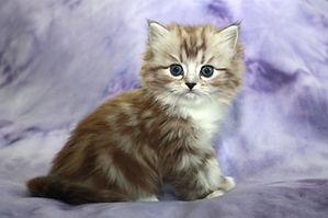 ragamuffin kittens for sale Quinn