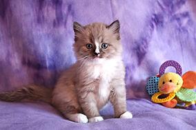 mink ragamuffin kittens