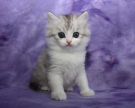 ragamuffin kittens tabby