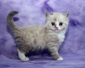 ragamuffin kittens Lennon