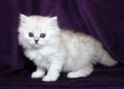 ragamuffin kittens shaded silver
