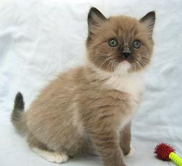 ragamuffin kittens 2 cute