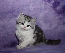Danae ragamuffin kitten