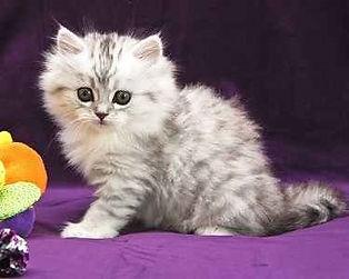 ragamuffin kitten Lexie