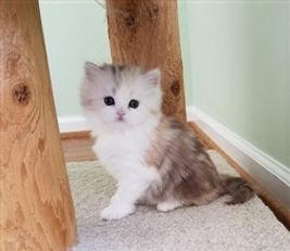 chocolate tortie and white ragamuffin kitten