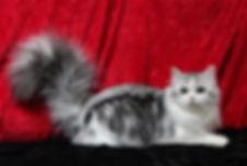 ragamuffin cat silver