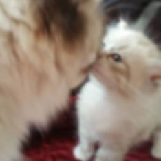 RagaMuffin kittens love