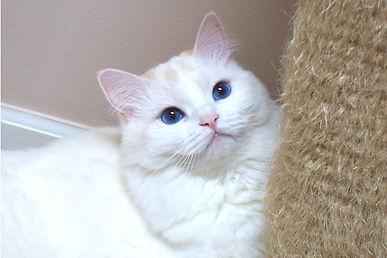 red point ragamufin kitten