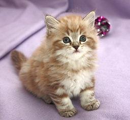 classic mink ragamuffin kitten