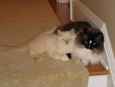 RagaMuffin kittens buddies