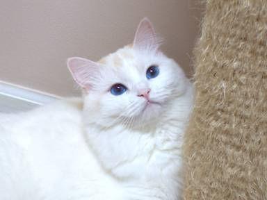 ragamuffin kitten incredible eyes