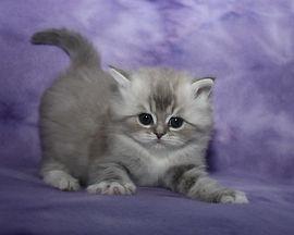 ragamuffin kittens rowdy girl