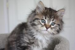 ragamuffin cat brown tabby