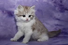 ragamuffin kittens tabby and white