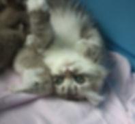 RagaMuffin cat Starburst