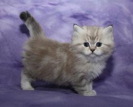 ragamuffin kittens too cute