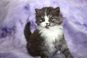 ragamuffin kittens for sale Kitty
