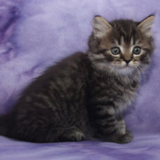 brown ragamuffin kittens