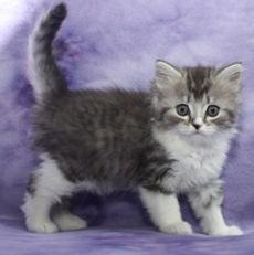 ragamuffin kittens Reese
