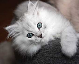 the eyes of ragamuffin kittens