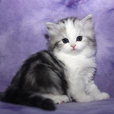 ragamuffin kittens Josie silver
