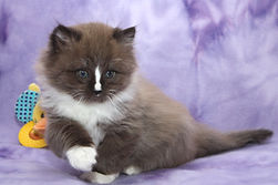 ragamuffin kitten sweetie