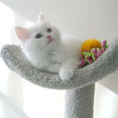 ragamuffin kittens white