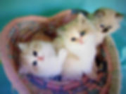 Ragamuffin kittens for sale tina lube.jp