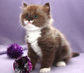 RagaMuffin kitten Bon Bon