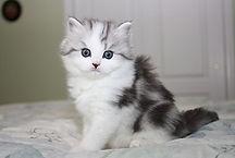 ragamuffin kittens baby Nougat