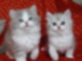 ragamuffin kittens rescue two kittens