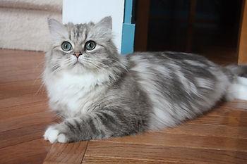 blue sepia tabby ragamuffin cat