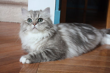 blue sepia tabby ragamuffin cat