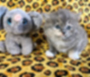 tortie ragamuffin kittens