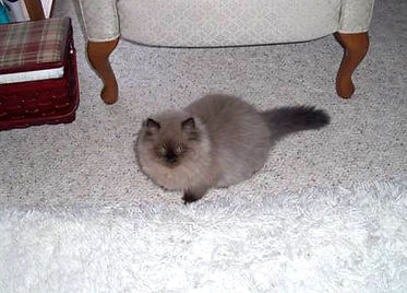 fluffy mink ragamuffin kittens