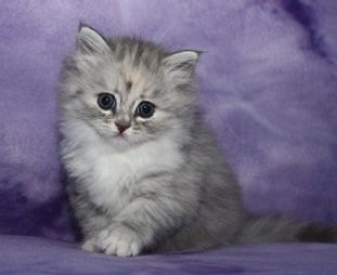 ragamuffin kittens silver tortie