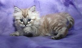 ragamuffin kittens Kiara