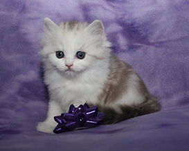 ragamuffin kittens soft and silky