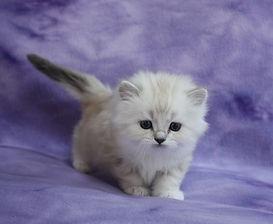 ragamuffin kittens mink