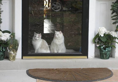 white ragamuffin cats