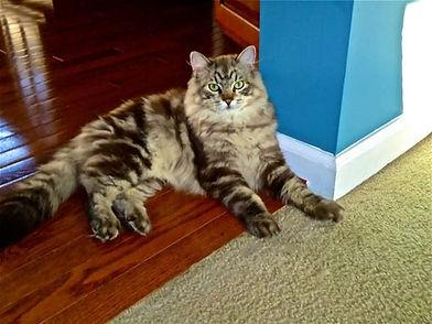 Handsome ragamuffin kitten