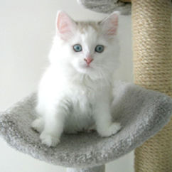 ragamuffin kittens mostly wite