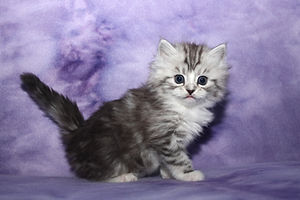 classic kittens ragamuffins
