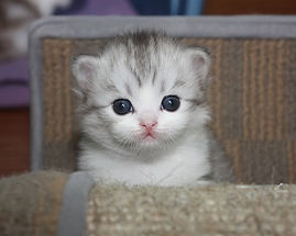 cute ragamuffin kitten