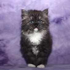 ragamuffin kittens Murphey