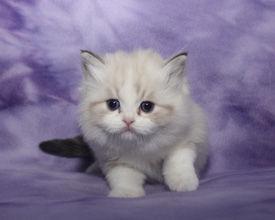ragamuffin kittens blue eyes