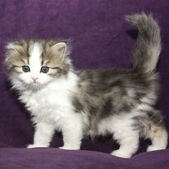 sweet ragamuffin kitten Irish