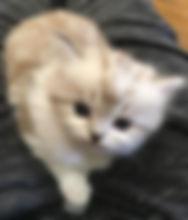 ragamuffin kittens breeders