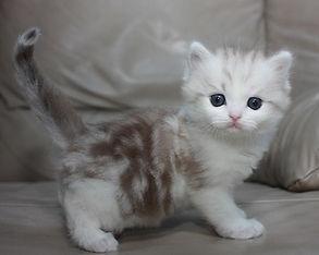 ragamuffin kittens classic tabby